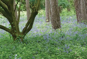 Bluebells-Cropped-300x204