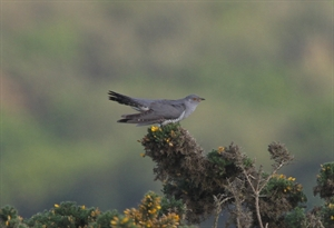 Cuckoo1-Cropped-300x205